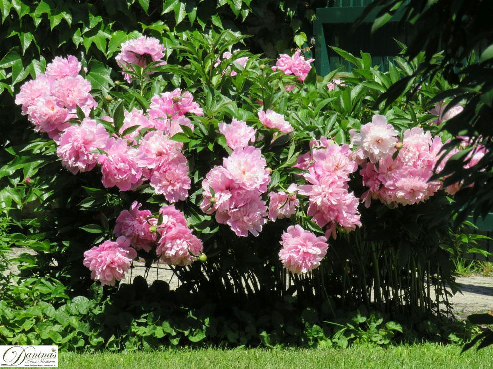 Pfingstrosen gehören in jeden Cottage Garten!
