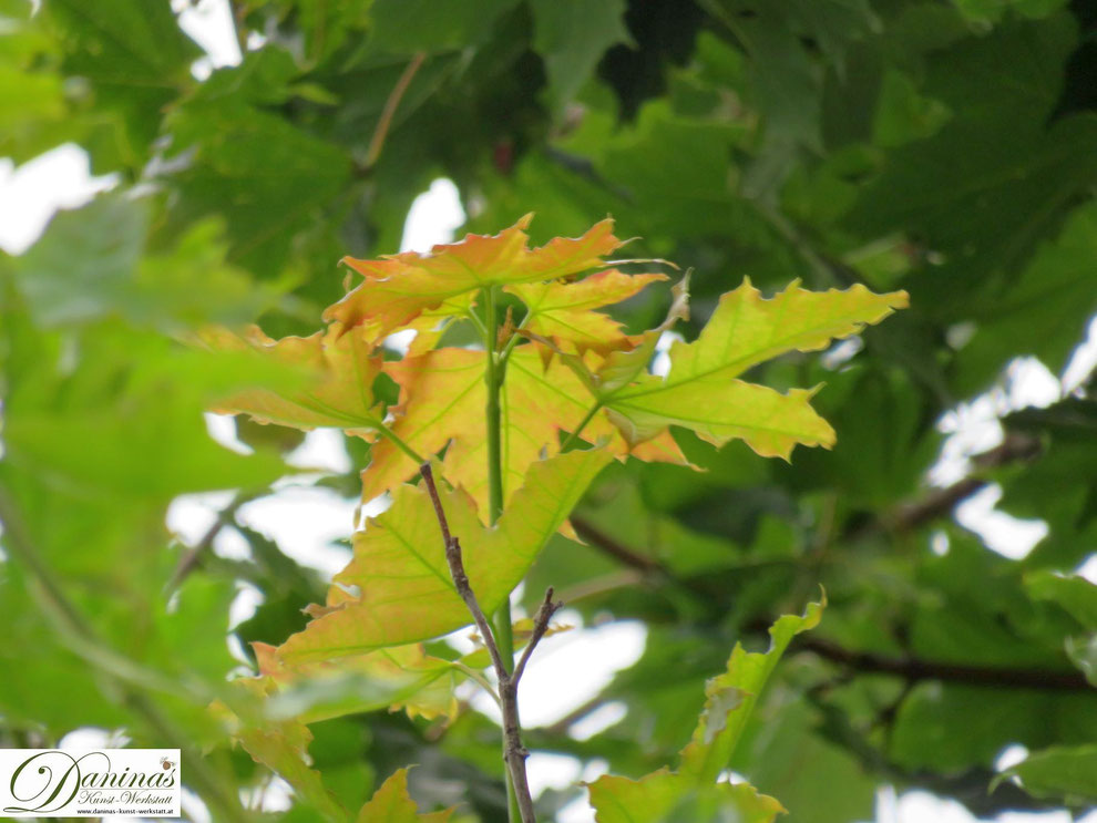 Nahender Herbst - Erste Laubverfärbung am Ahorn. Foto by Daninas-Kunst-Werkstatt.at