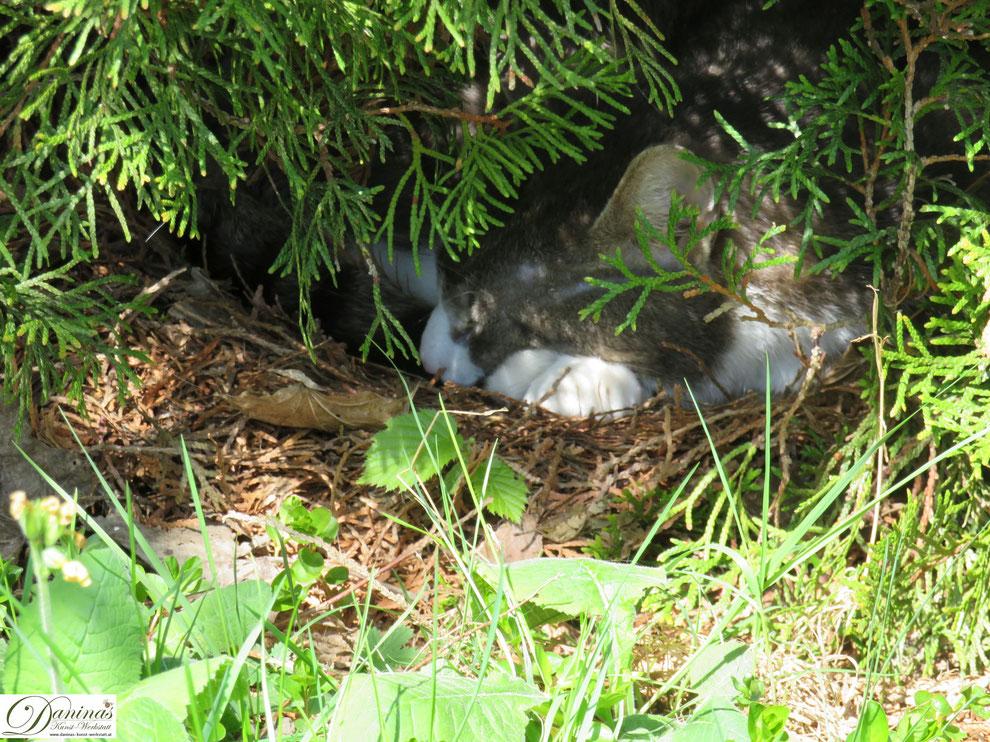 Katze Pauli genießt den Frühling im Garten an seinem Lieblingsplatz unter der Thuje. Der Kater hat sich ein Nest gemacht.