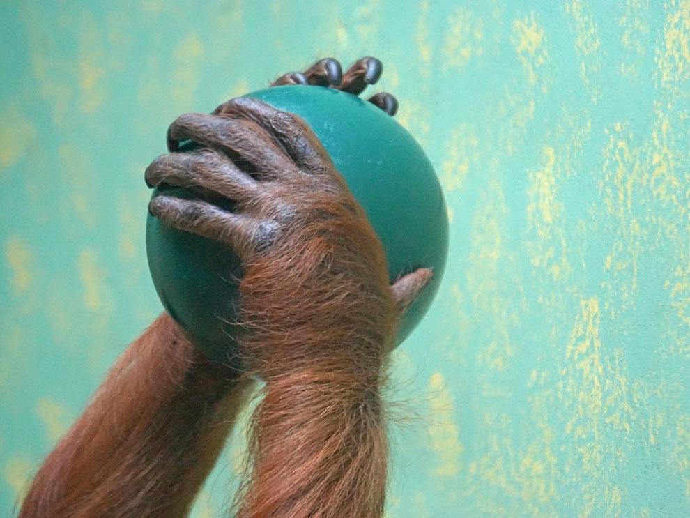 Denken wir an die Welt. Orang Utan Hände mit Weltkugel.