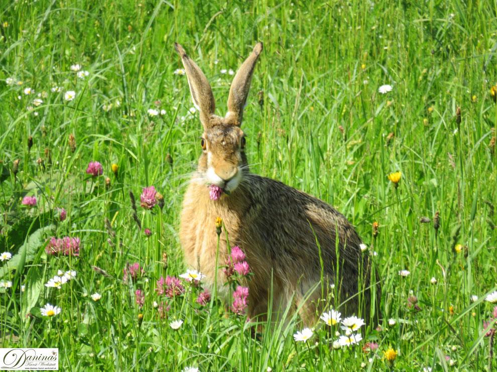 Was frisst der Hase? Feldhase in Blumenwiese frießt Kleeblume