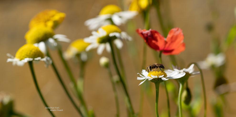Kleine Wildbiene auf einer Kalillenblüte