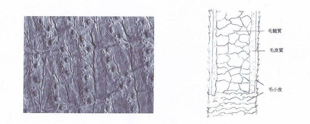 図1 エゾシカ革の表面                               図2 毛の構造