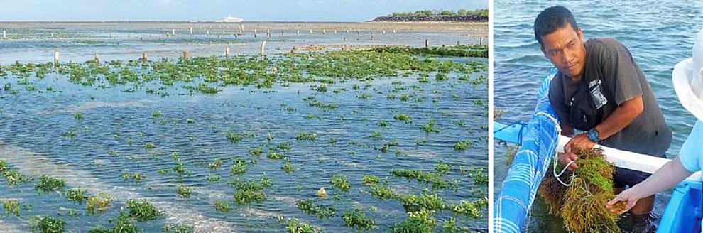 広大な海域を使ったキリンサイ養殖事業
