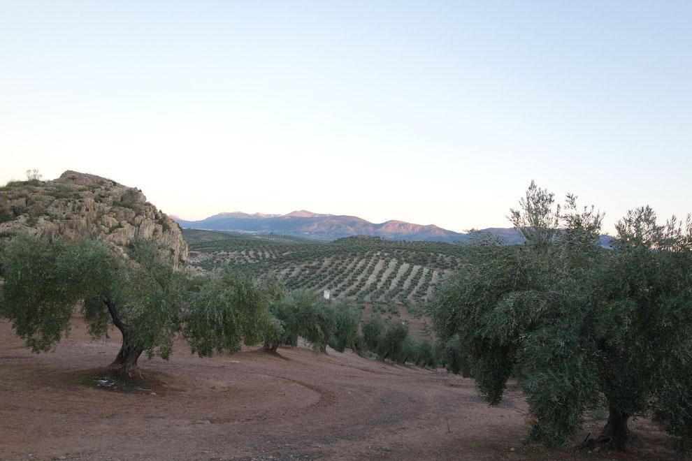 Jaen plantation d'olivier à perte de vue