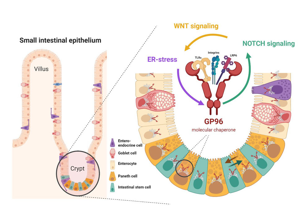 The role of GP96 in the intestinal epithelium