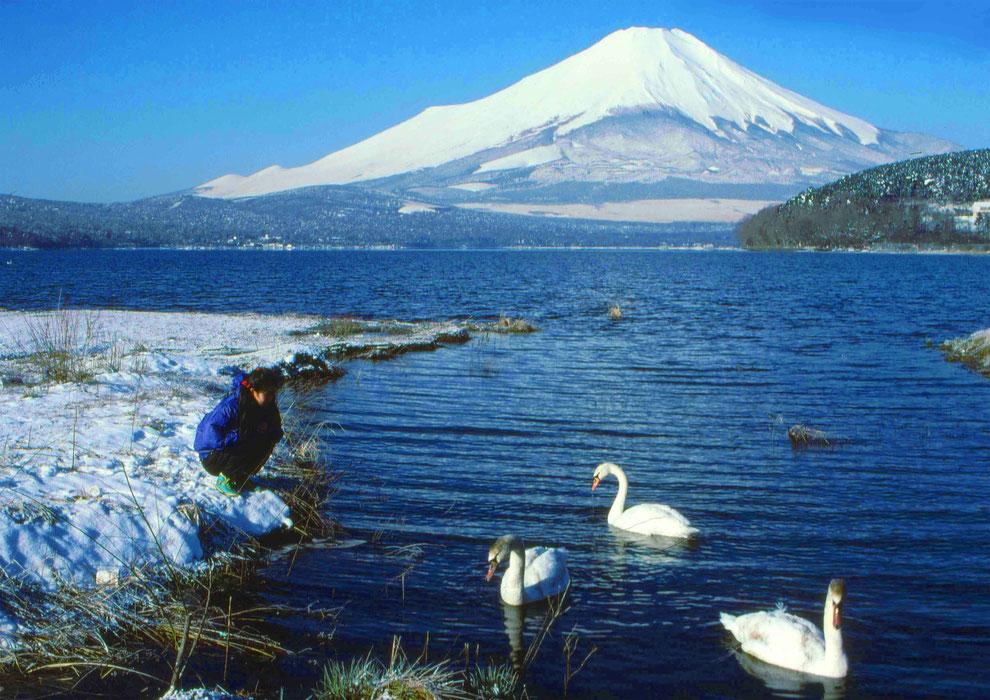 4  .   富士山 山中湖 大白鳥