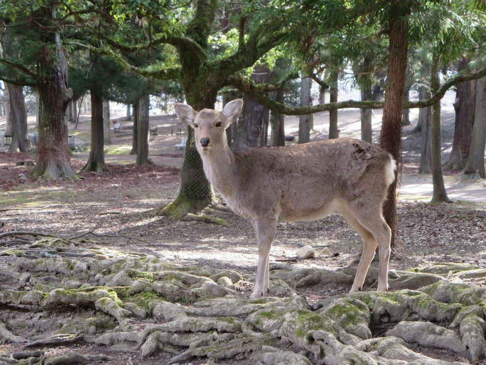 神の使いの神鹿 奈良公園の鹿たちは野生の日本鹿  京都観光タクシー 英語通訳ガイド 永田信明