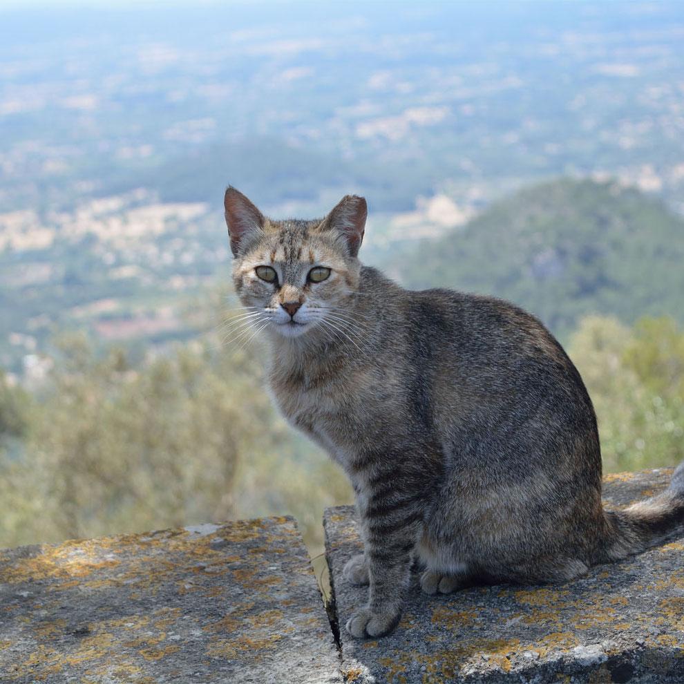 Mallorcan Cat