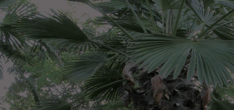 タワシ、ホウキの素材となる棕櫚の様子