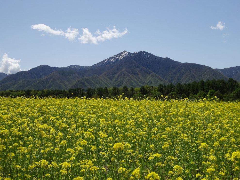 猿楽台地の菜の花畑この時期は蕎麦の花の代わりに菜の花が満開に咲きます。あまり知られていない。