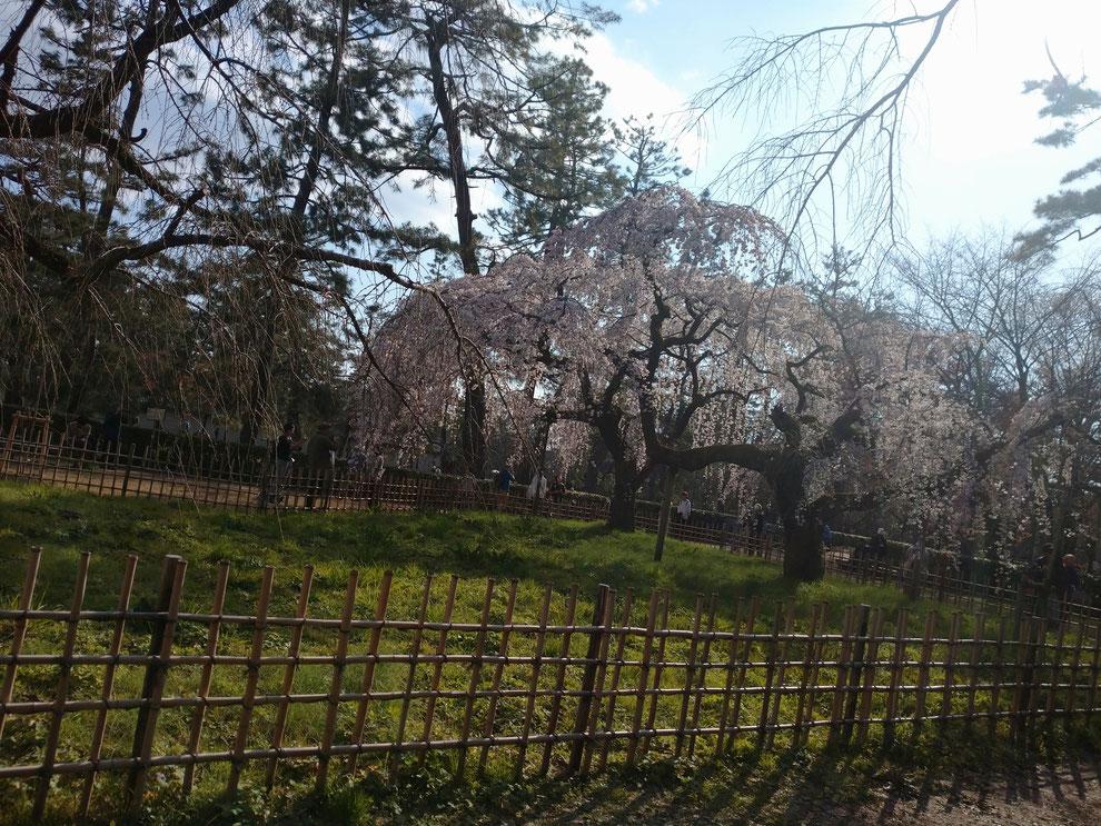 京都御苑、御所の桜・天皇さんも見惚れた桜