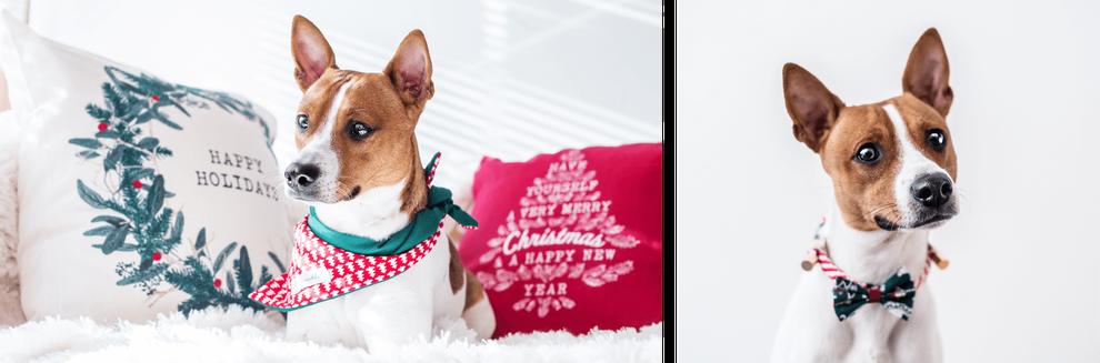 Kleiner Hund in weiß braun mit Weihnachts-Halstuch