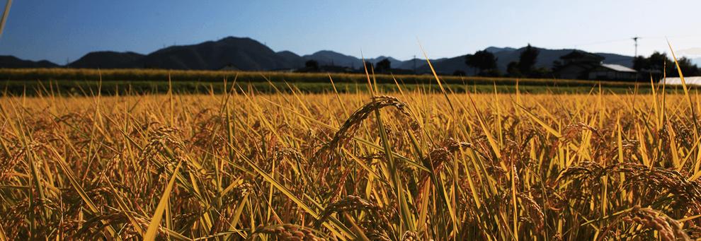 日本の田んぼでたわわに実った稲