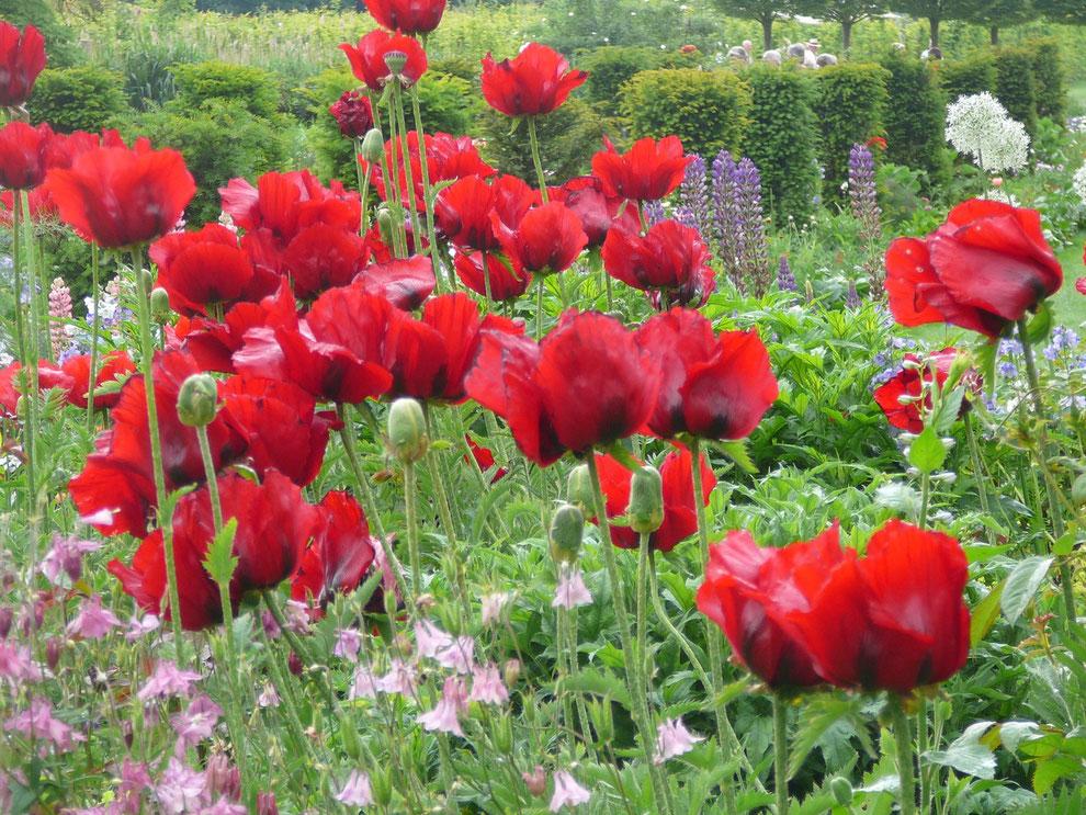 """Beet mit rotem """"Beauty of Livermere"""", Allium, Lupinen und Akelei"""