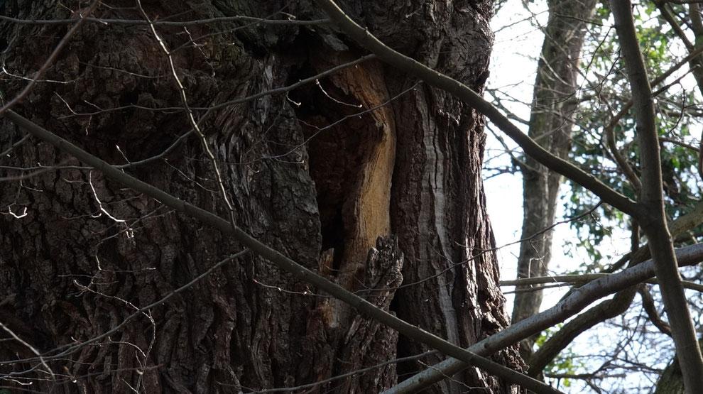 In diesem alten und hohlen Baum könnte sich eine Fledermaus einquartiert haben.