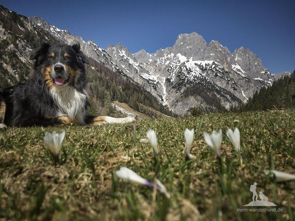 mein-wanderhund; Andrea Obele; Bindalm; Berchtesgaden; Ramsau; Krokusse; Wandern mit Hund;