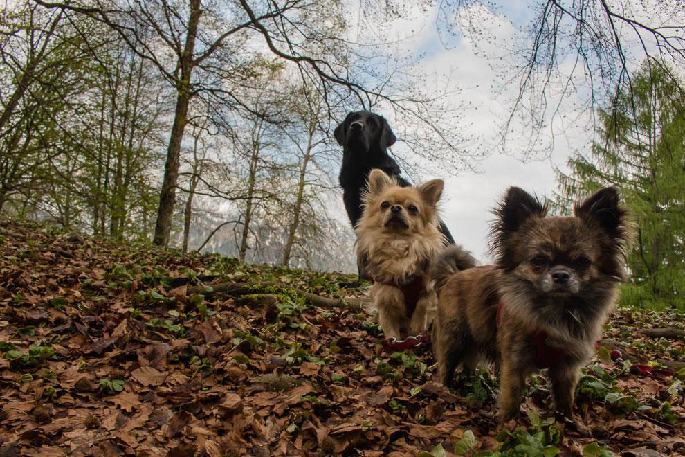 Wandern mit kleinen Huuden, Wandern mit mehreren Hunden