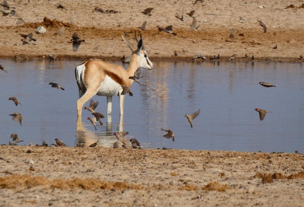 Springbok et amadines à tête rouge