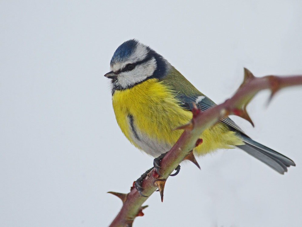Blaumeise; Gartenvogel