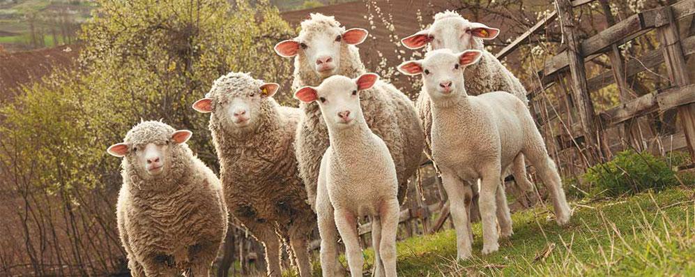 4 Schafe und 2 Lämmer auf einer eingezäunten Weide