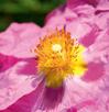 Cistus Incanus, la rose cistus Aloé Vera Santé avec LR Health & Beauty | Cistus Incanus, la rose cistus, variété grise. On la trouve surtout dans les pays du Sud. Le Cistus Incanus.