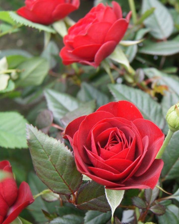 Rosales en Tenerife