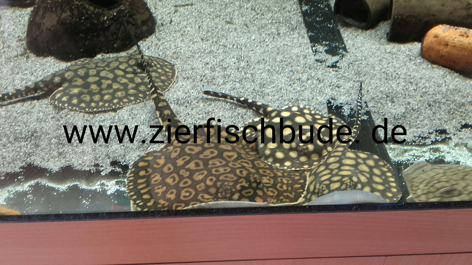 Rochen - Freshwater stingrays - zierfischbudes Jimdo-Page!