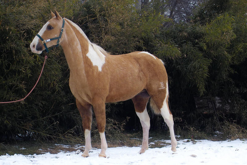 Cavalli Argentini In Regalo.Argentini Criolli Cruzadi Appennino Horse Trekking