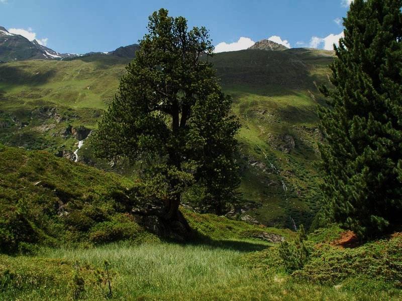 """e67c6ae336f8f6 Die Zirbe oder Arve (""""Königin der Alpen"""") wächst im Hochgebirge. Ihre  positiven Eigenschaften auf das Wohlbefinden des Menschen sind schon seit  vielen ..."""