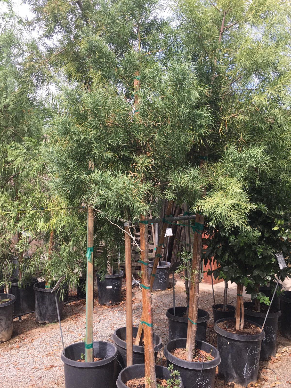 Trees Cagliero Ranch Nursery