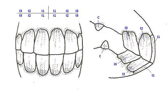 Zähne - Regine Germies