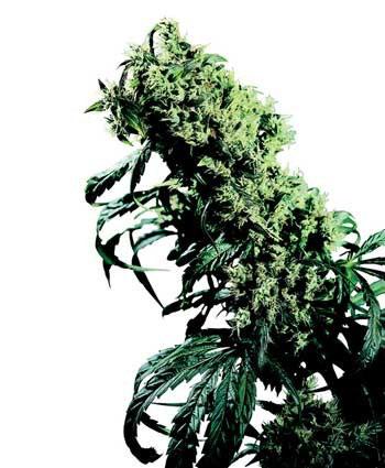 Cannabis Northernlights Seeds - Wietzaden Prijzen Vergelijken