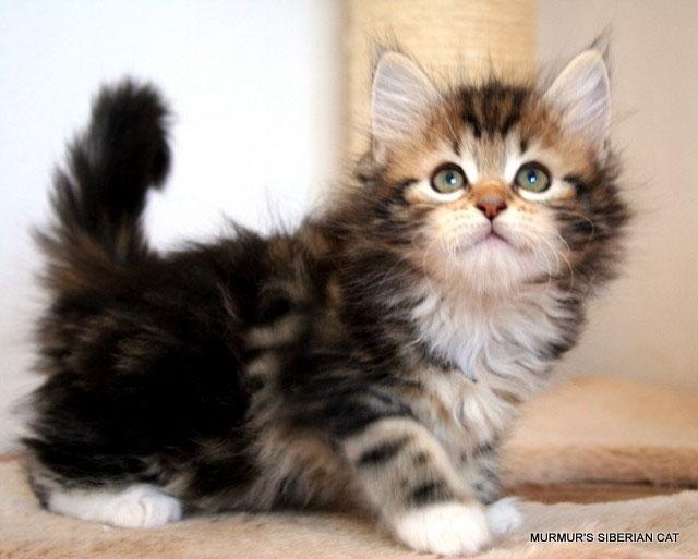 Casa A Prova Di Micio Murmurs Allevamento Di Gatto Siberiano
