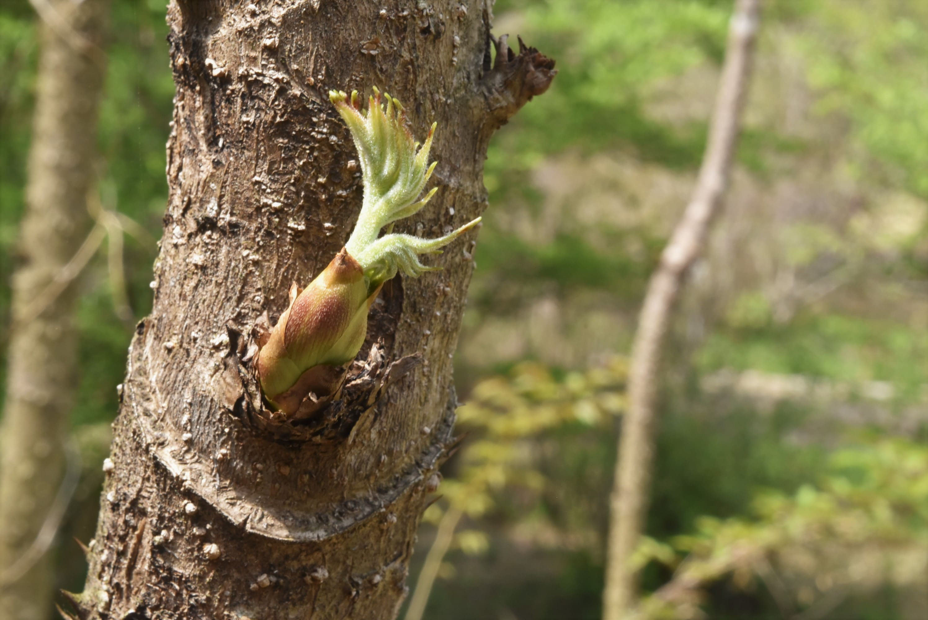 タラ の 木 増やし 方 タラの芽の収穫や剪定の仕方はどうすればいいの?挿し木で増える?