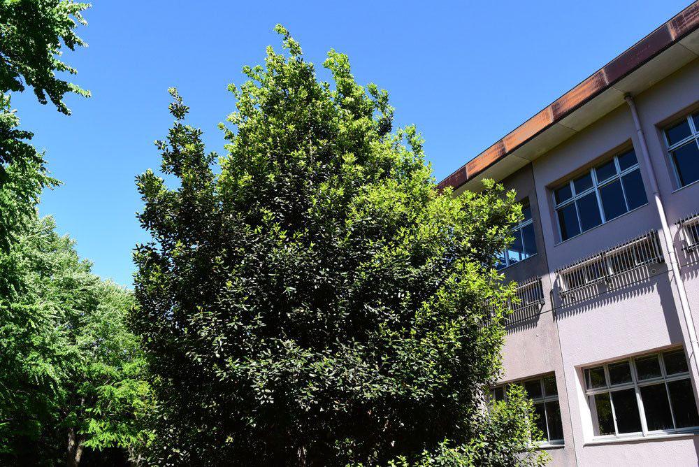 月桂樹 庭木