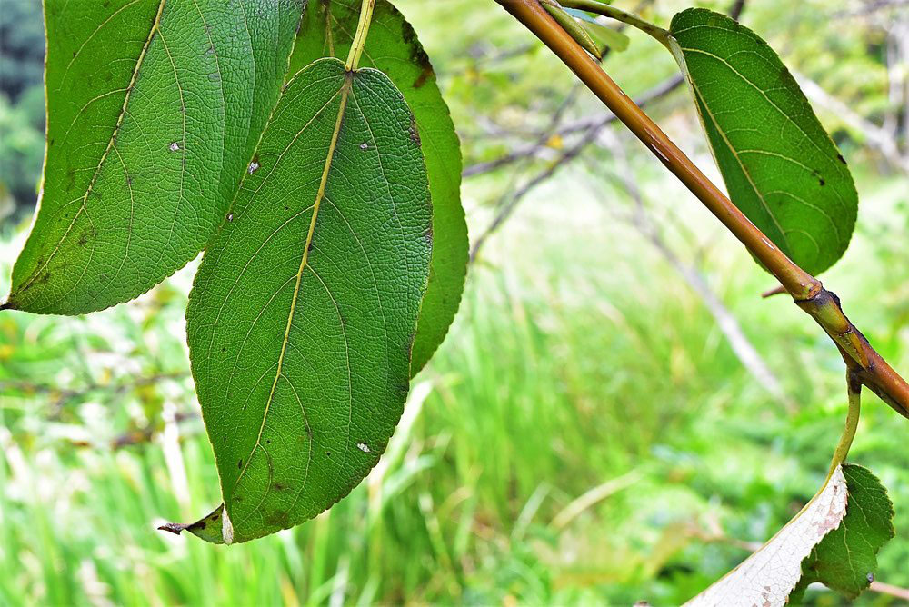 が ポインセチア 丸まる 葉