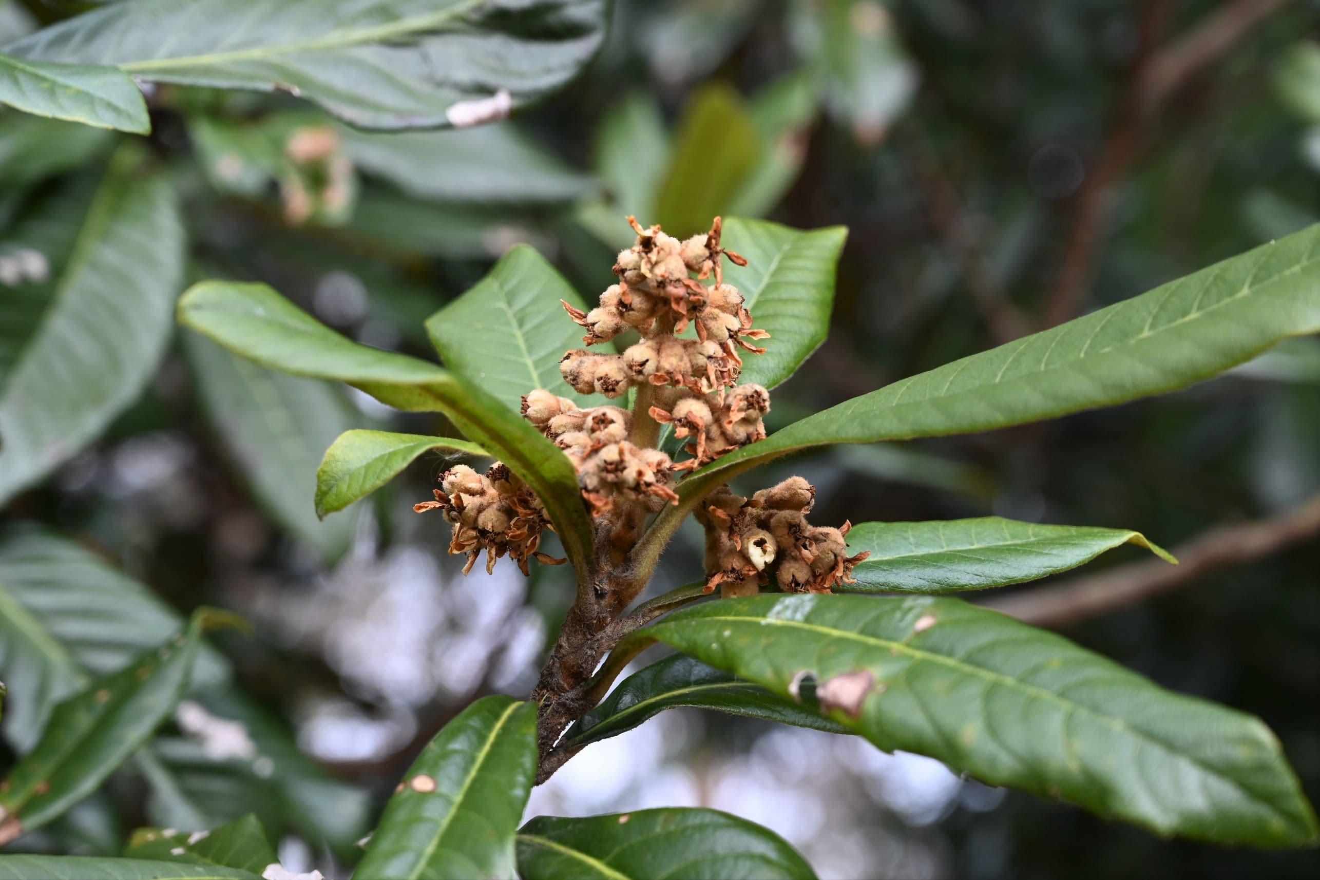 の びわ 育て 木 方 の ビワの木がかかりやすい病気は?