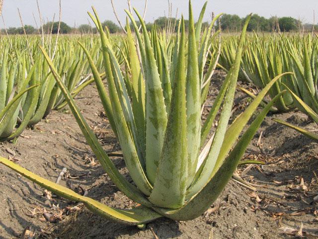 L Aloe Vera Sept Pages Pour Tout Savoir Sur Ses Bienfaits