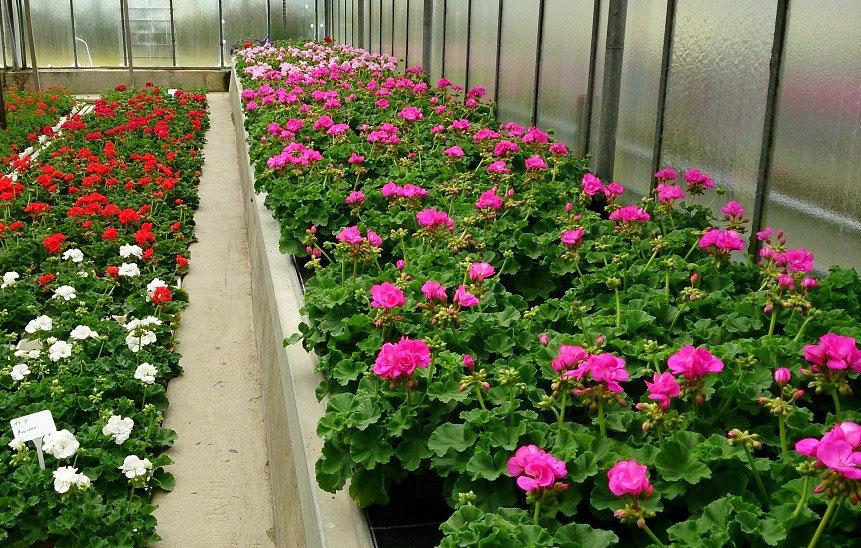 Beet Und Balkonpflanzen Gartnerei Lachele Floristik Blumen