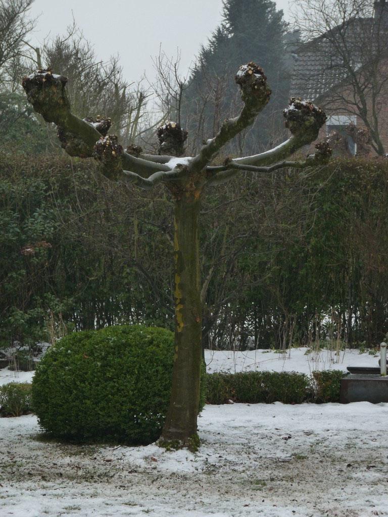 Gärtner Ratingen platanenrückschnitt im zeitigen frühjahr gartenarbeiten gärtner