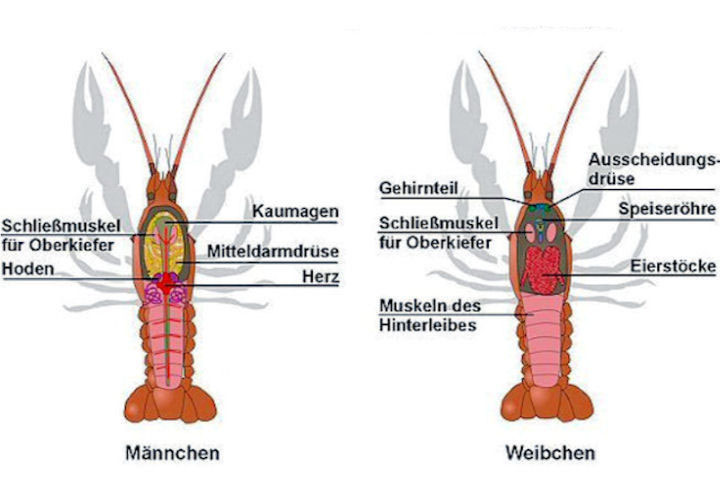Innere Organe - Crustakrankheiten.de