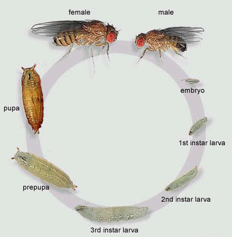 Cría de drosophila ( Mosca de la fruta ) - Artroposfera: Tienda ...