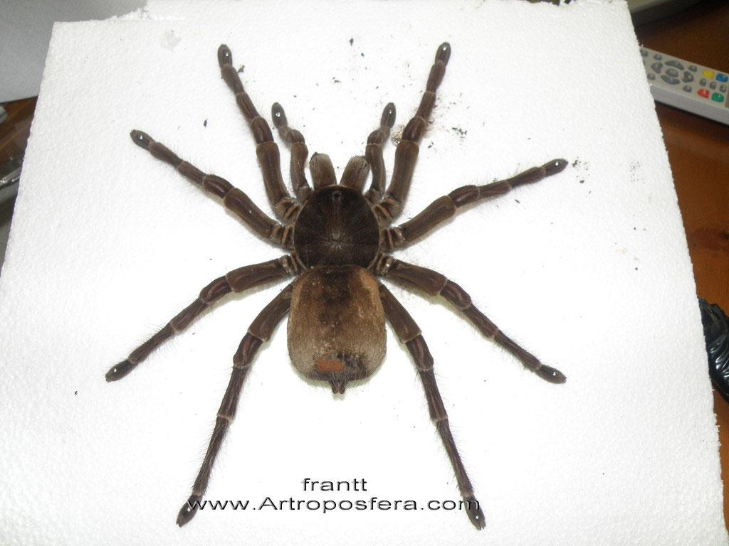 Disecar una tarántula - Artroposfera: Tienda online de material para ...