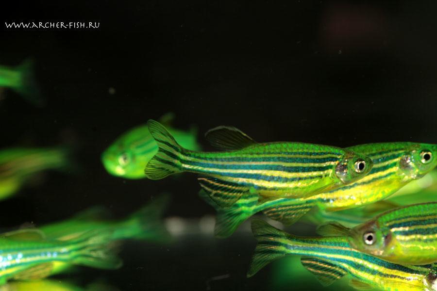 pregnant glofish images