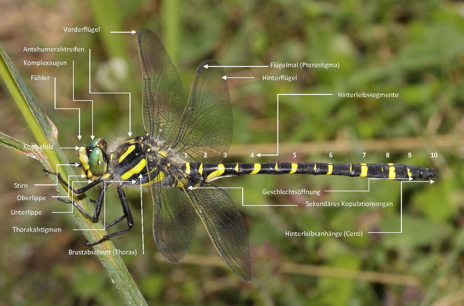 Libellen - waldschrat-online.de - Libellen