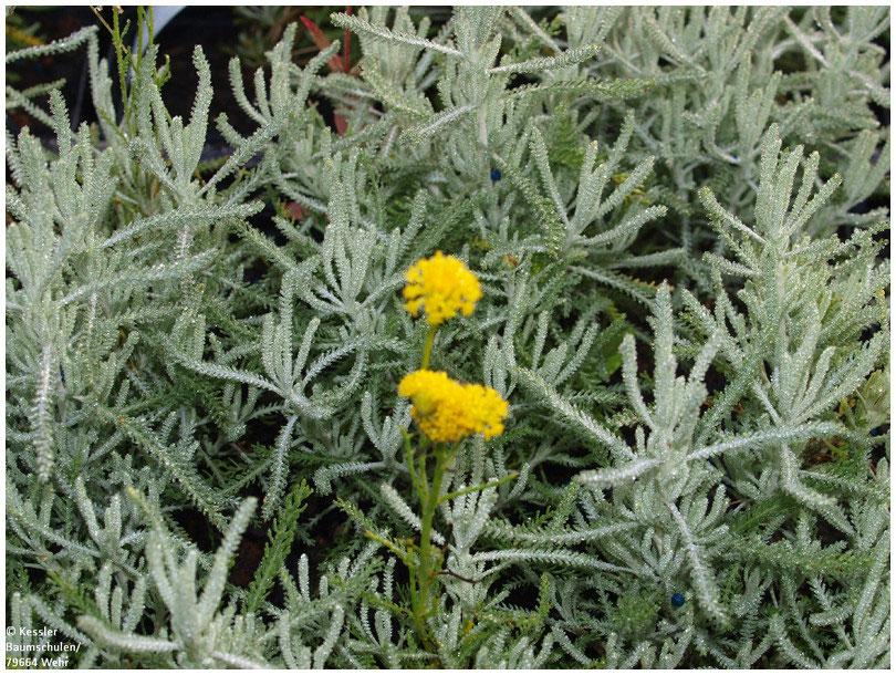 Mediterraner Garten Kessler Baumschule Pflanzen Für Ihren Garten