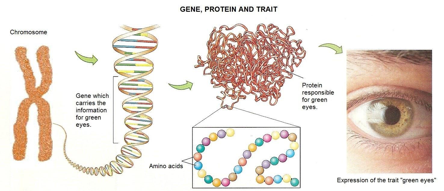 """Képtalálat a következőre: """"protein and trait"""""""