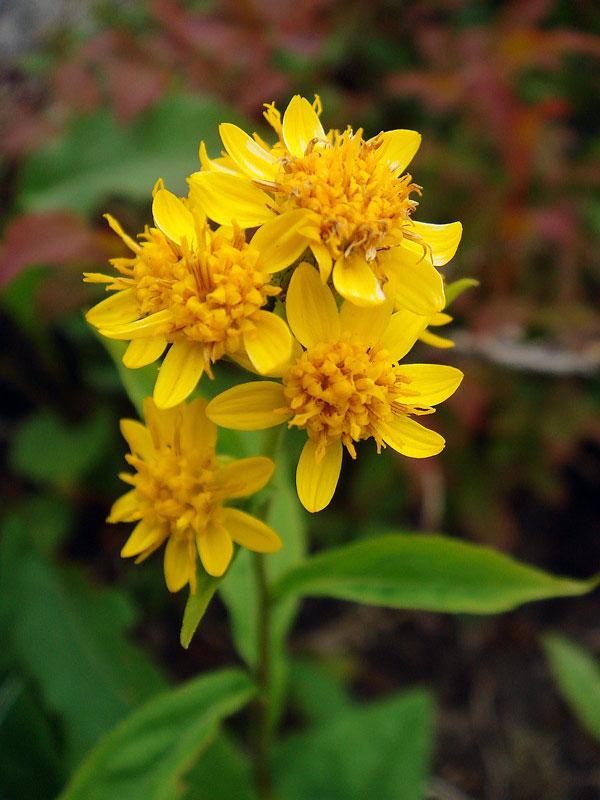 ミヤマアキノキリンソウ - 野山に自然に咲く花のページ