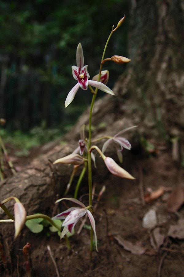 マヤラン - 野山に自然に咲く花...